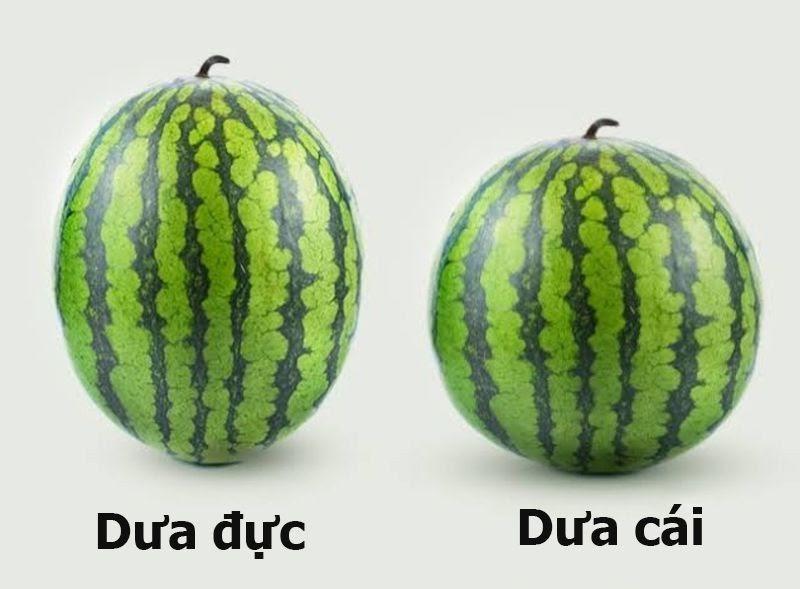 Cách chọn dưa hấu ngon ngọt bằng dựa vào hình dáng quả dưa