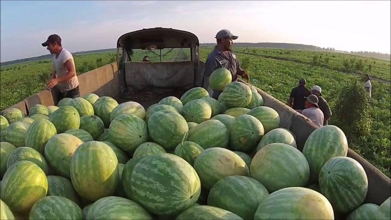 Thời điểm nên mua dưa hấu